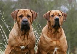 Yeni Sakıncalı Irklar 5199 Sayılı Yasa Ve Yasaklanan Köpek Cinsleri