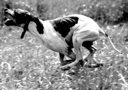 AVKIF Trakya Fermalı Av Köpekleri Mera Ve Irk Yarışması – 25 Mayıs 2014