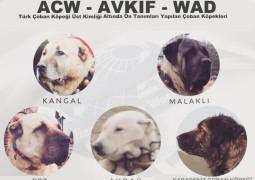Üst Kimlik: Türk Çoban Köpeği – Kangal, Akbaş, Boz, Malaklı, Karadeniz Çoban Köpeği